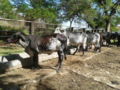 Os animais poderão ser financiados com linha de crédito do Rio Genética