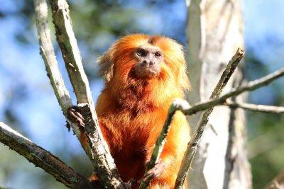 Na coleção especial, lançada pela Casa da Moeda e Banco do Brasil, o mico-leão-dourado