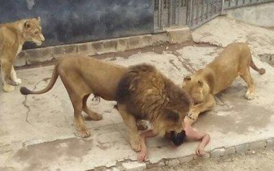 A princípio os leões brincaram com o jovem, mas logo passaram a atacá-lo: seu estado é grave Soy Aconcagua/Reprodução