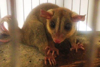 Cerca de 90% delas tiveram reabilitação no viveiro do Parque Atalaia e 10%, no aviário do Parque do Barreto