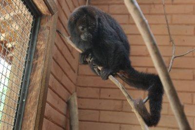 Chita foi a primeira Bugio fêmea, neste ano, a ser capturada e devolvida ao habitat pela equipe ambienta