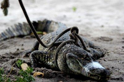 O jacaré foi encontrado na beira da pista e resgatado pela Guarda Ambiental, após ser acionada