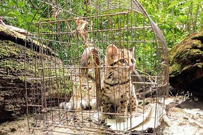 Ele havia sido capturado, preso às telas de galinheiro, na manhã de sexta-feira (7) no distrito da Bicuda Grande
