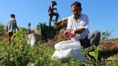 A colheita, que começou em 15 de julho, vai se estender até o início de setembro
