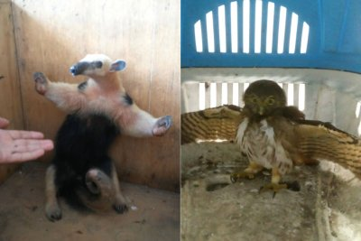O animal, que é típico da região, foi uma das espécies soltas, nesse início de semana, no Parque Nacional de Jurubatiba